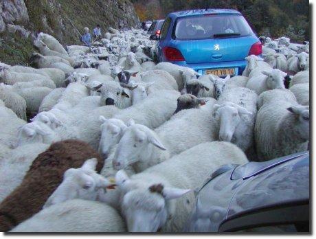 Engarrafamento de ovelhas