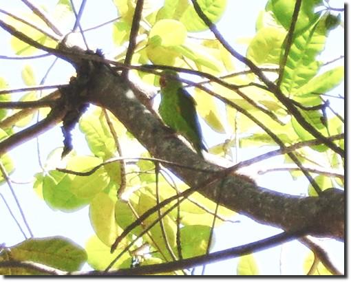O pássaro verde